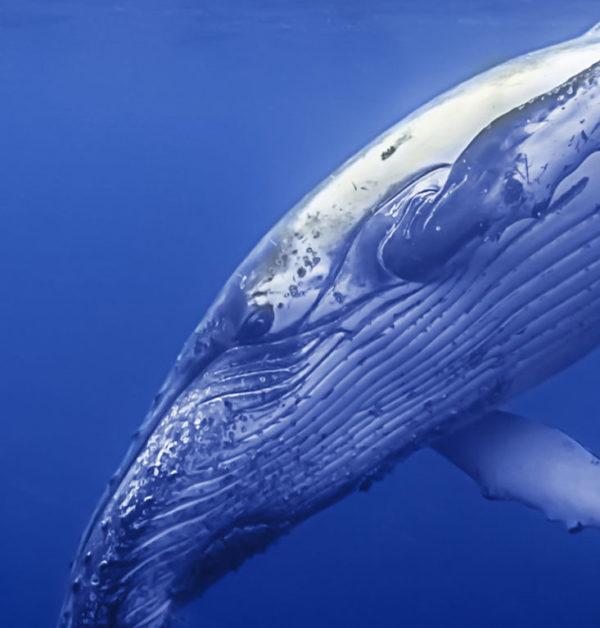 Whale narrow